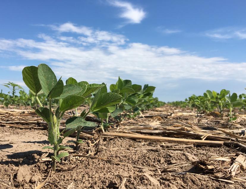 Soya bean farming - iPhone